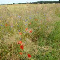 Messicoles - Bordure de champs riche en Bleuet (Cyanus segetum), plante messicole emblématique devenue rare en Ile-de-France.