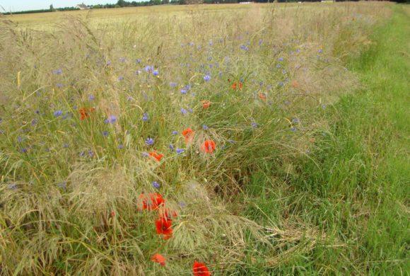 (Français) Les plantes adventices au service de l'agriculture : une aide essentielle, à protéger d'après deux récentes études
