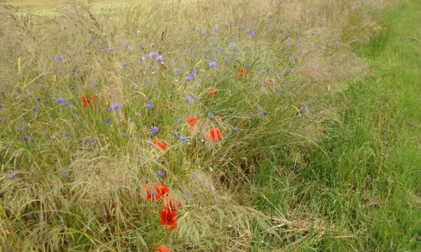 Les travaux du Conservatoire sur les plantes messicoles d'Ile-de-France