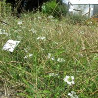 Nigelle des champs dans l'Amidonnier cultivé (parcelle de démonstration au CNPMAI)