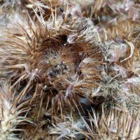 Onopordon acanthium ssp acanthium