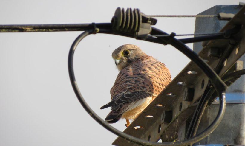 La biodiversité au jardin #1 Le Faucon crécerelle