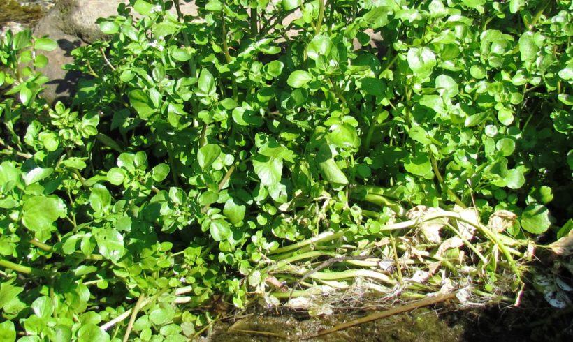 Offre de stage 2019 – Suivi projets semences et développement cressiculture