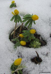 Eranthe d'hiver (Eranthis hyemalis L.)