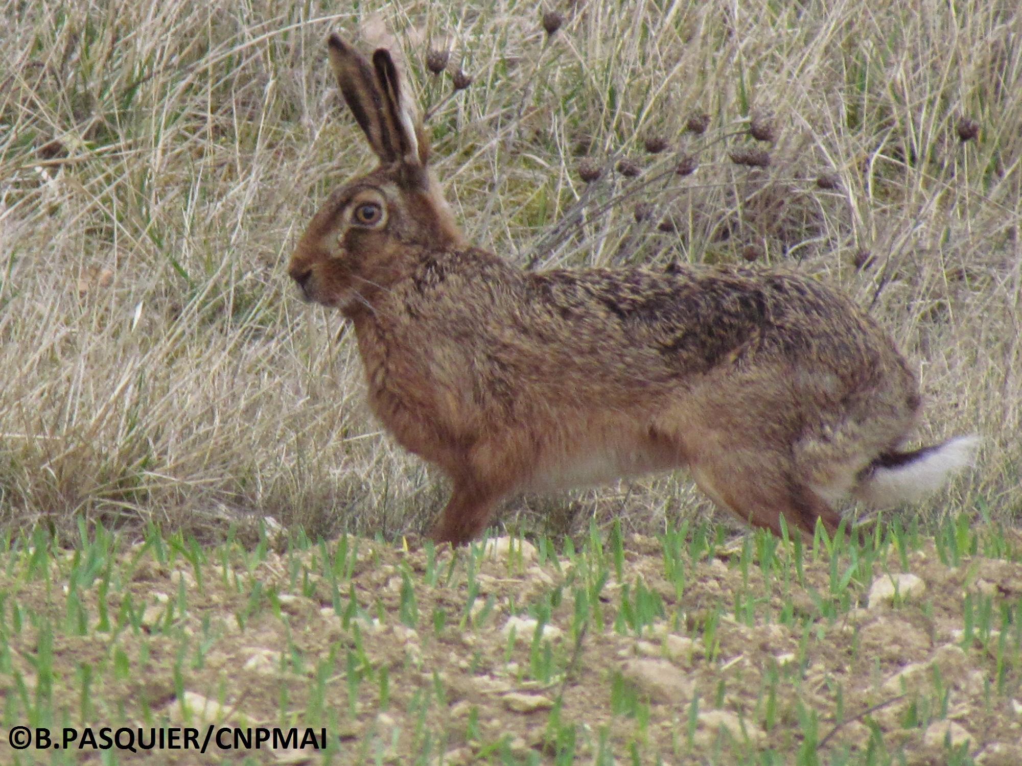 Lièvre le 18 mars 2012 ; B. PASQUIER (5)