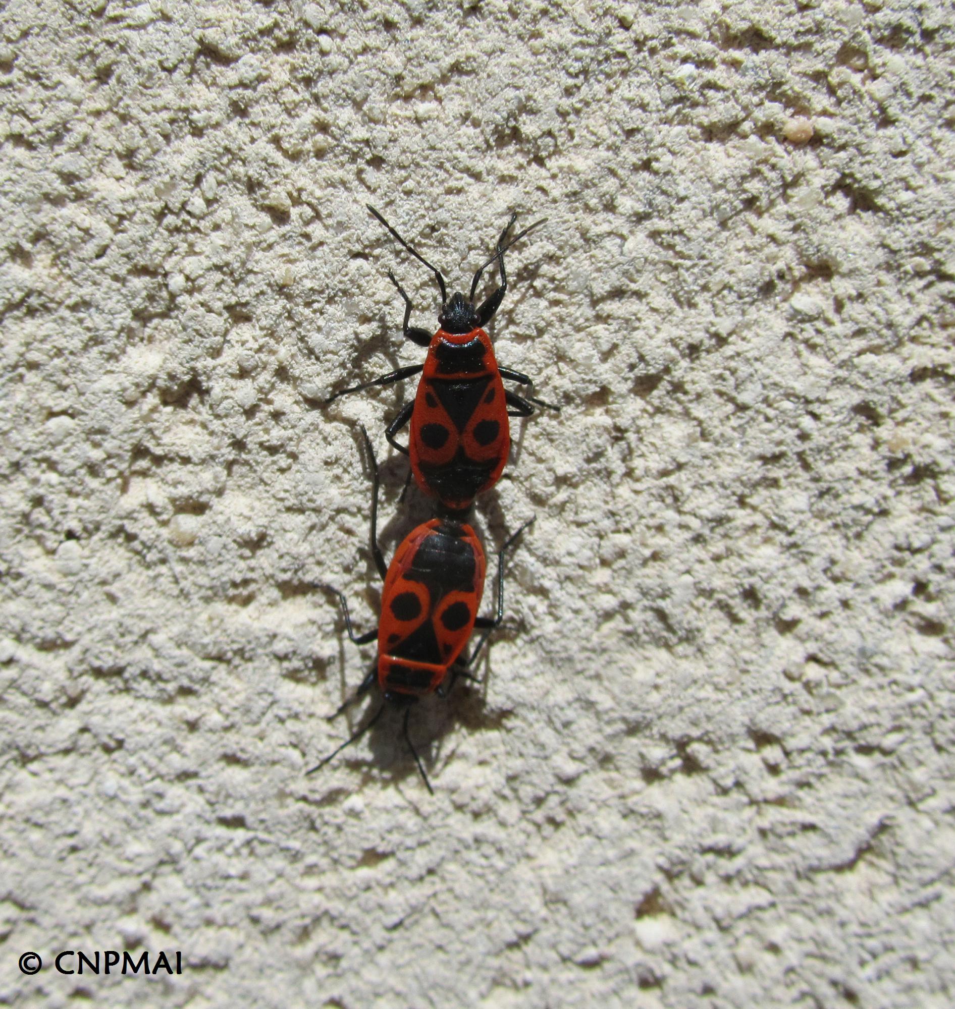 Pyrrhocoris apterus- Gendarme 4