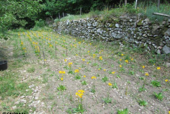 (Français) Mise en culture d'Arnica des montagnes