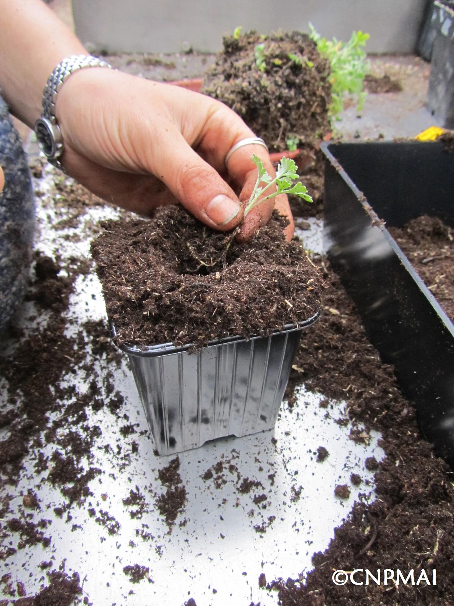 Rempotage Artemisia absinthium vue godet 16 avr 2019 (1)