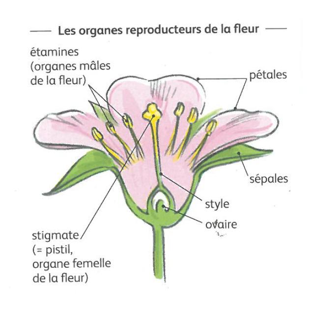 Les organes reproducteurs de la fleur (Produire ses graines bio, Christian Boué, édition Terre Vivante)