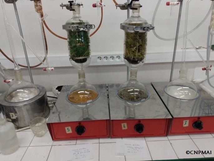 A gauche, eau de distillation du clone 'Morden #3', à droite eau de distillation de la souche d'origine inconnue