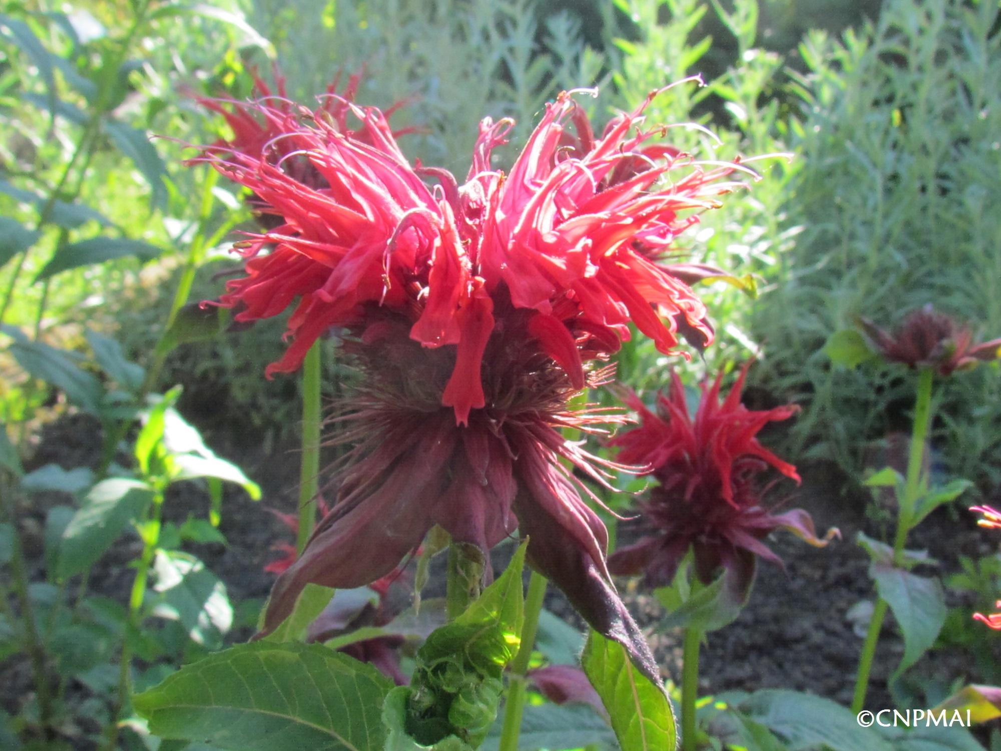 Monarda didyma 'Cambridge scarlett', une des premières variétés de Monarde à avoir été sélectionnée à des fins horticoles
