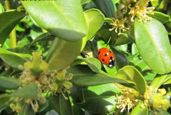 #10 la Coccinelle à sept points (Coccinella semptempunctata)