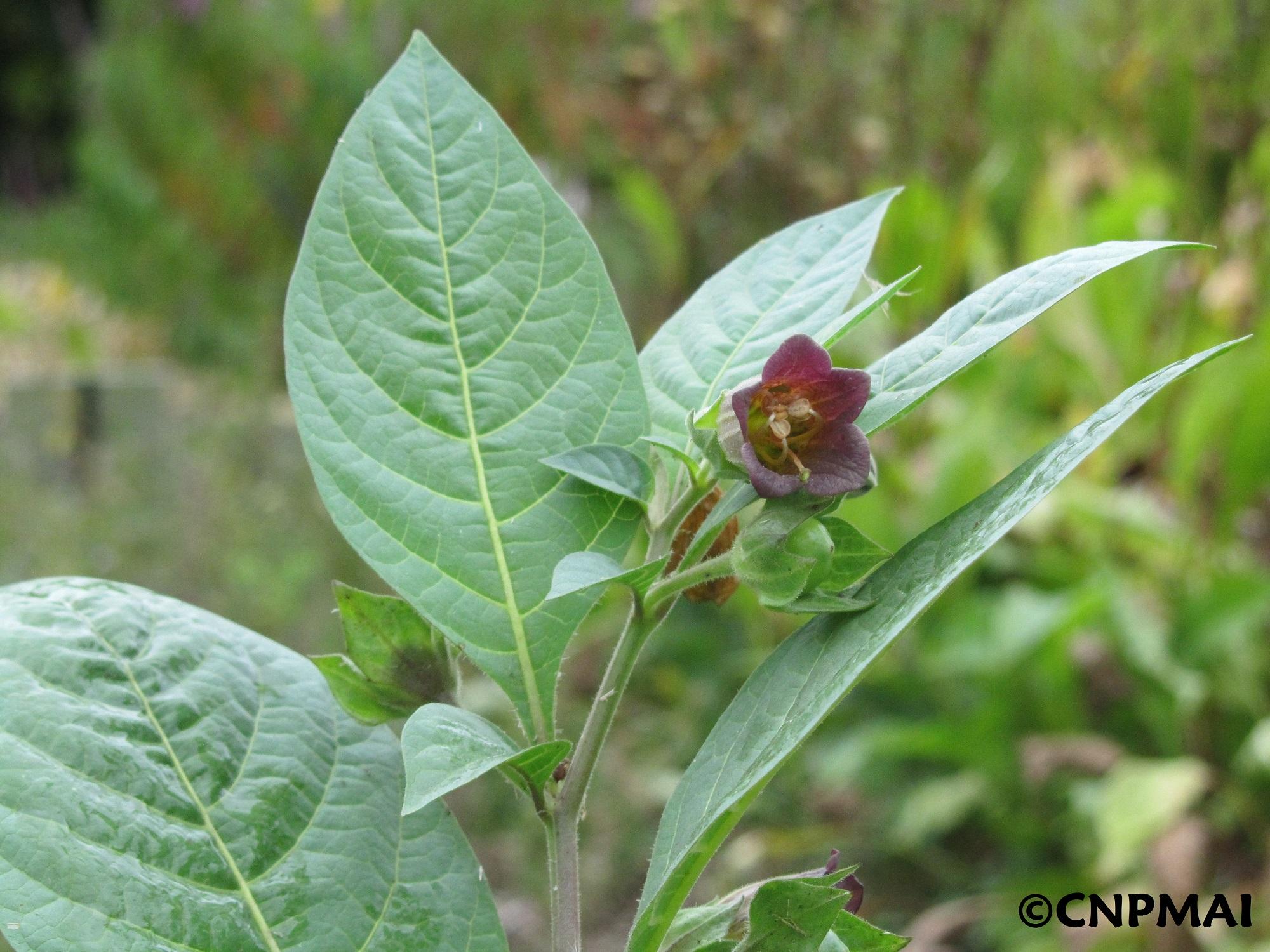 belladone fleur copy reca