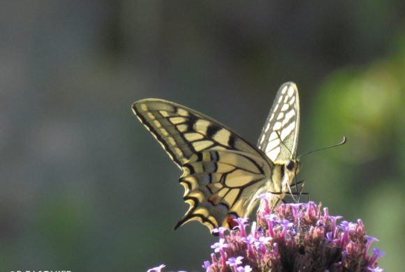 (Français) #11 Le papillon Machaon (Papilio machaon)