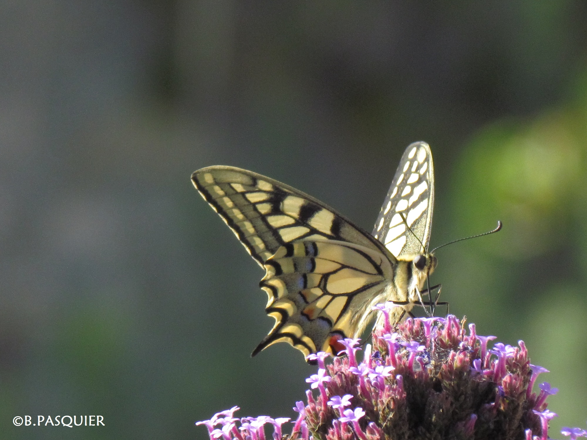 Papillon Machaon - B.Pasquier