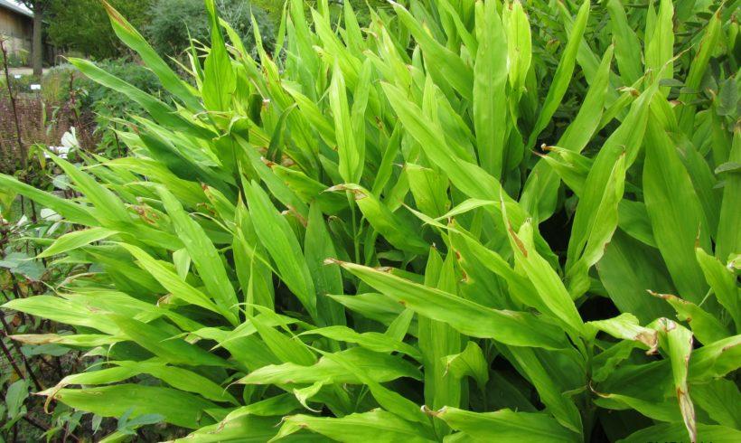 Le Gingembre japonais (Zingiber mioga), une aromatique rustique