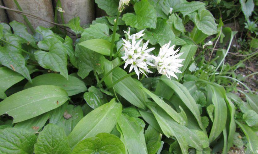 (Français) L'ANSES publie un aide-mémoire pour éviter les confusions entre plantes comestibles et plantes toxiques