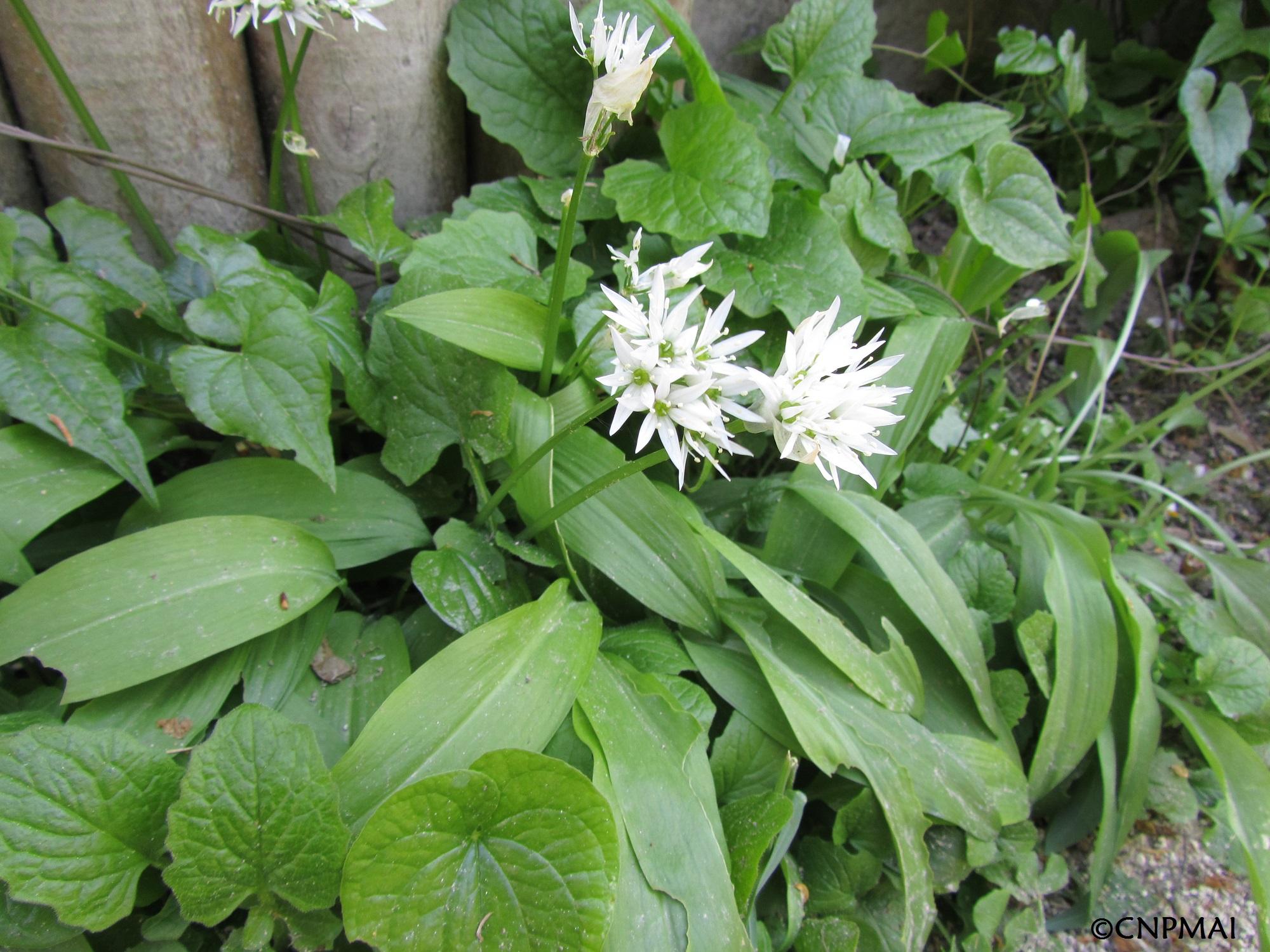 Ail des ours ( Allium ursinum)