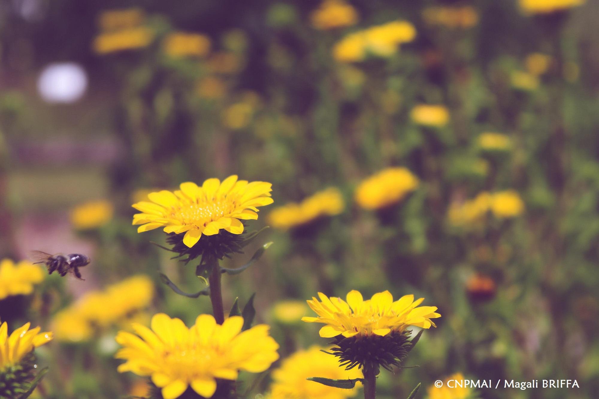 Grindelia robusta - fleur