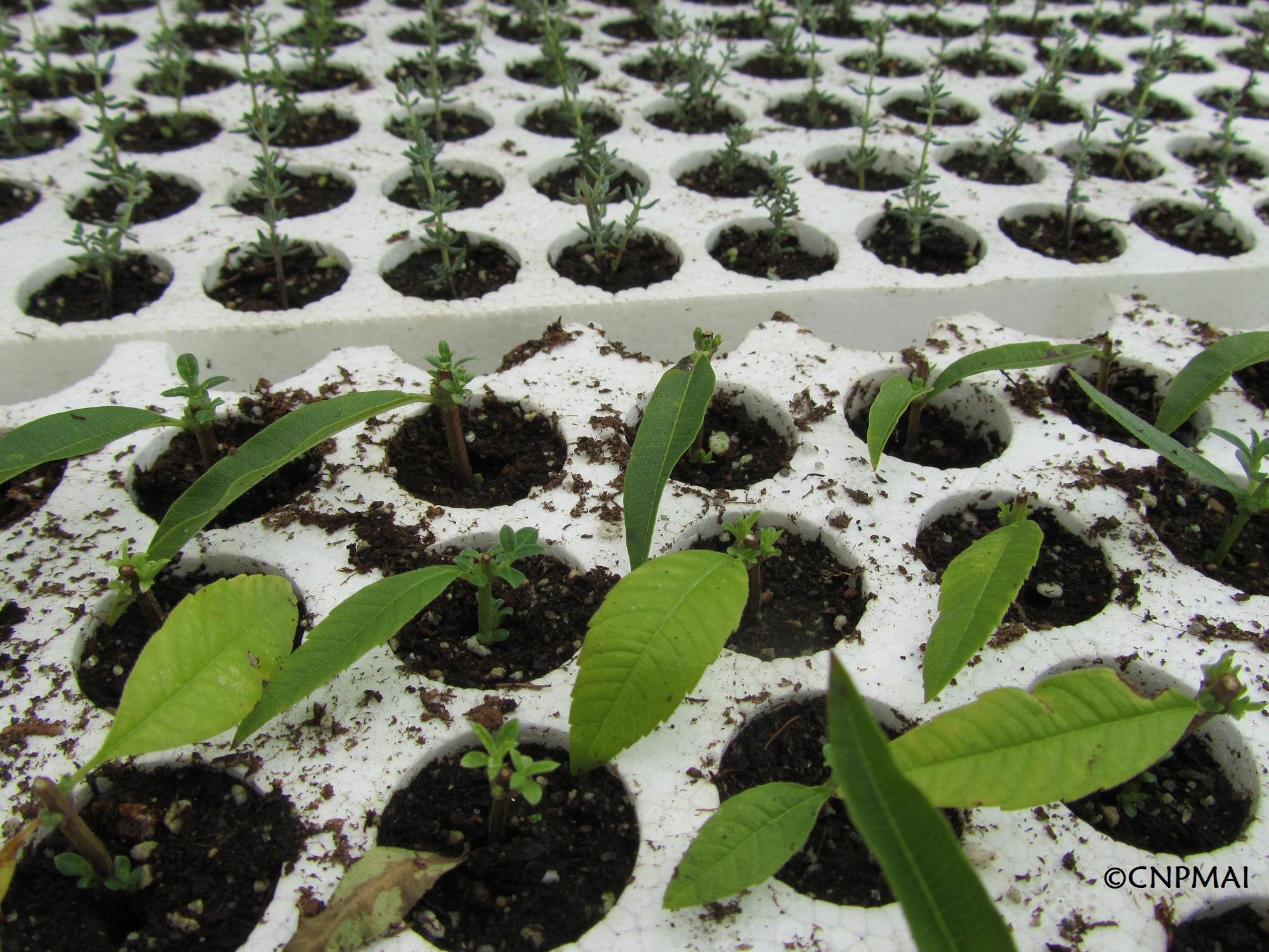 Boutures de verveines citronnelle avec développement des bourgeons foliaires, signe que l'enracinement est fait
