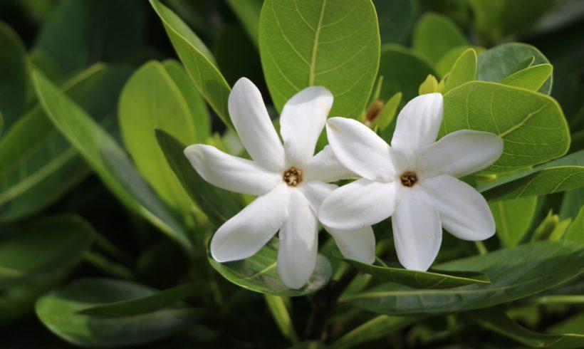 (Français) Le tiare tahiti, plante emblématique de Polynésie française