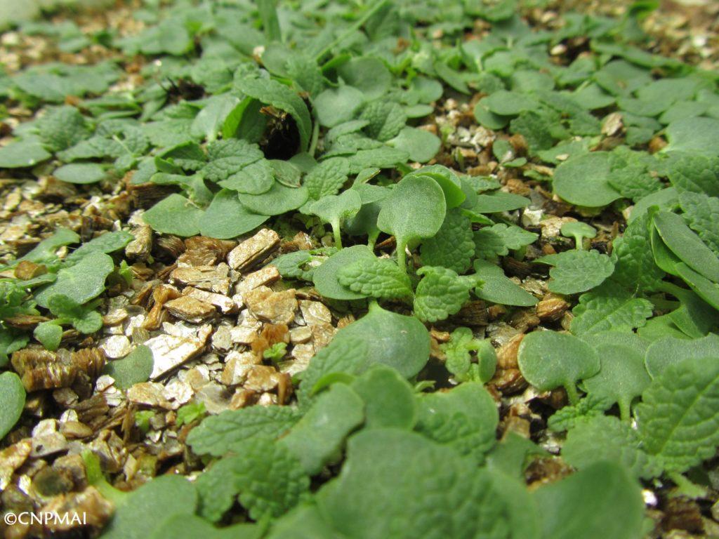 levée de semis de Salvia pratensis (sauge des prés) pour une production labellisée « Végétal local » - CNPMAI 2020