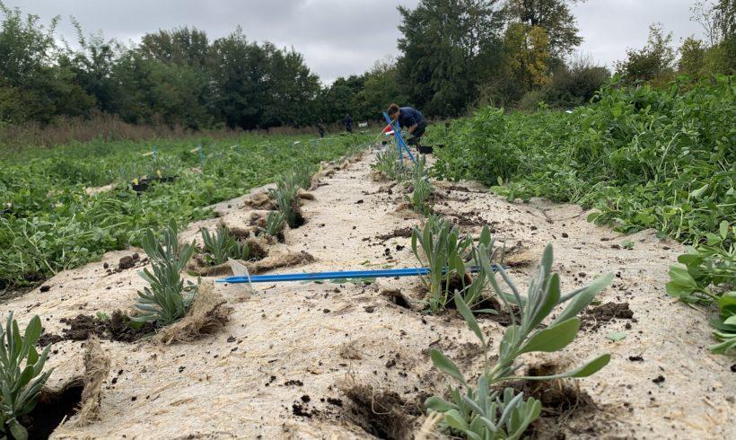 (Français) Offre de stage – évaluation de populations sauvages de Lavande aspic