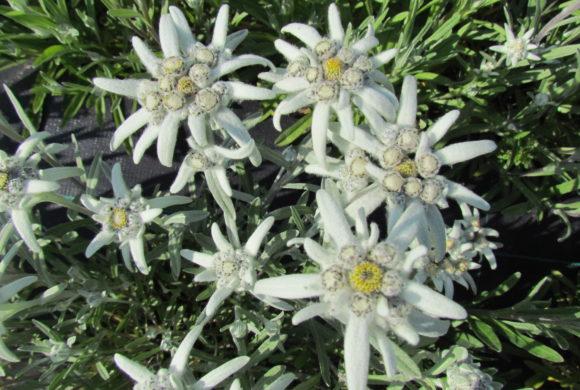 L'Edelweiss – Leontopodium nivale – La Mélodie du Bonheur – Robert Wise