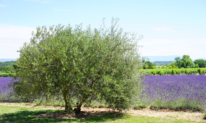 La culture de PPAM en agroforesterie