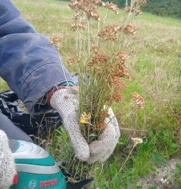 La récolte des semences d'immortelle d'Italie en photo