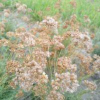 Helichrysum italicum en graine