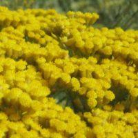 En pleine floraison, les capitules sont jaunes