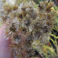 A maturation des graines, les capitules brunissent et laissent s'échapper la graine